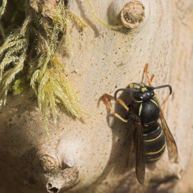 Spring Wasp