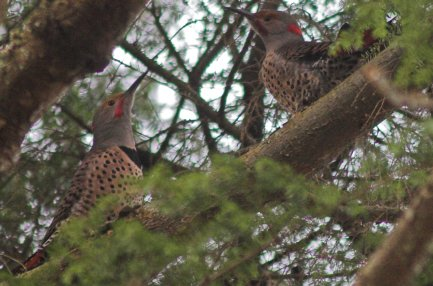 Two Male Northern Flickers
