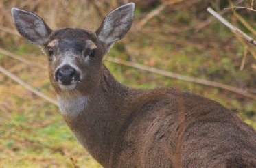 Sitka Blacktail Deer