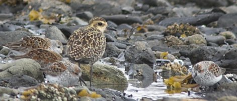 Golden Plover and Western Sandpipers
