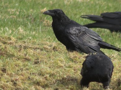 Raven in the Lawn