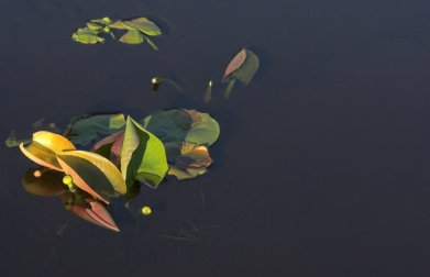 Pond Lily Leaves