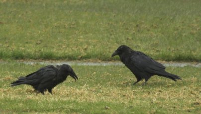 Ravens on the Lawn