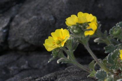 Villous Cinquefoil Flowers