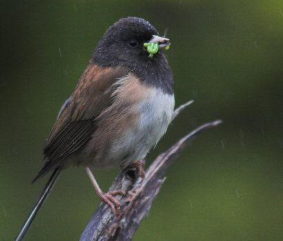 Dark-eyed Junco with Inchworms and flies