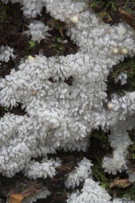 White Slime Mold