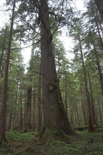 Big Hemlock Tree