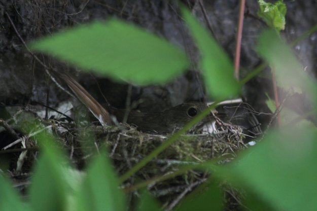 Hermit Thrush on Nest