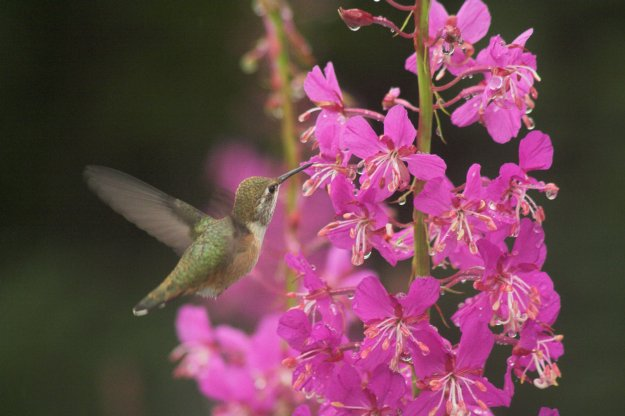 Rufous Humming at Fireweed