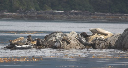 Harbor Seal Haulout