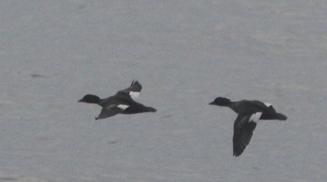 White-winged Scoters?