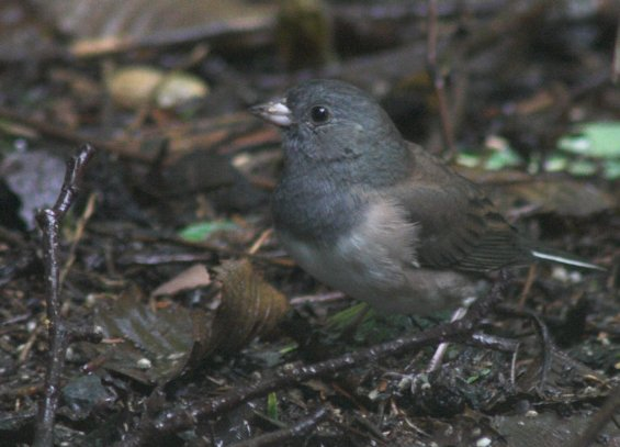 Dark-eyed Junco Female
