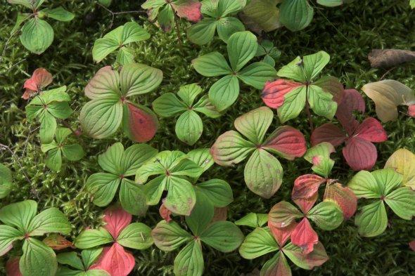 Cornus canadensis leaves