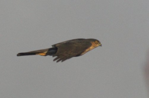 Sharp-shinned Hawk (Accipter striatus)