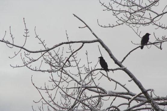 Winter Ravens