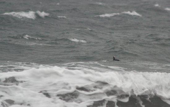 Surf Scoter in Surf