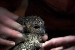 Captured Western Screech Owl