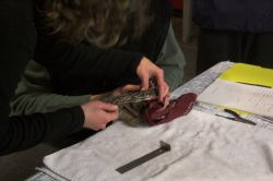 Measuring the wing of a Western Screech Owl