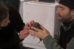 Putting a radio transmitter on a Western Screech Owl