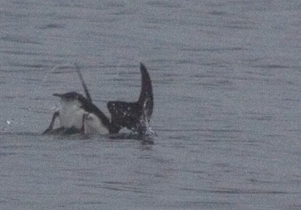 Horned Puffin Diving