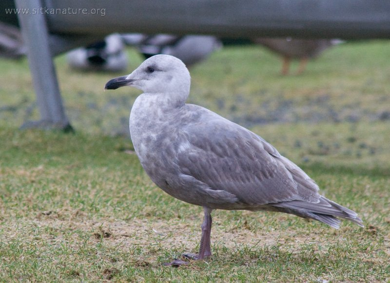 Juvenile Glaucous-winged Gull (Larus glaucuscens)