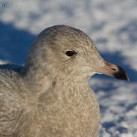 First Year Glaucous Gull (Larus hyperboreus)