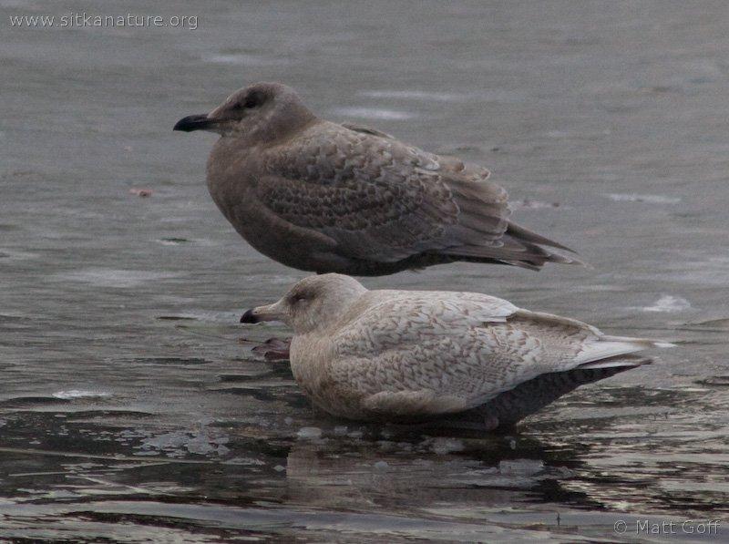 Juvenile Gulls (Larus spp)