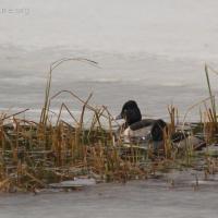 Ring-necked Ducks (Aythya collaris)