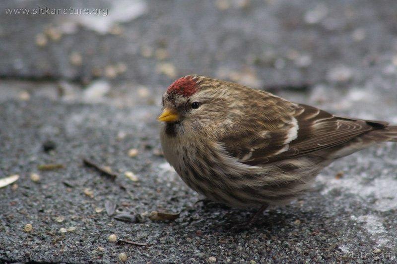 Common Redpoll (Carduelis flammea)
