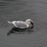 Glaucous-winged Gull with Sea Cucumber