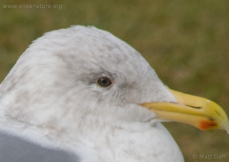 Gull (Larus sp)