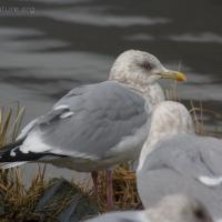 20070217-thayers_gull_2-1.jpg