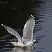 20070217-thayers_gull_2-3.jpg