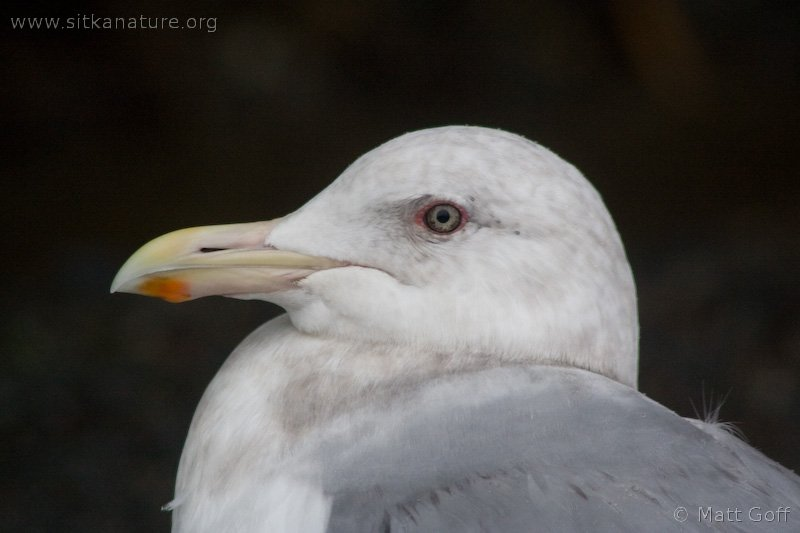 Gull (Larus sp)