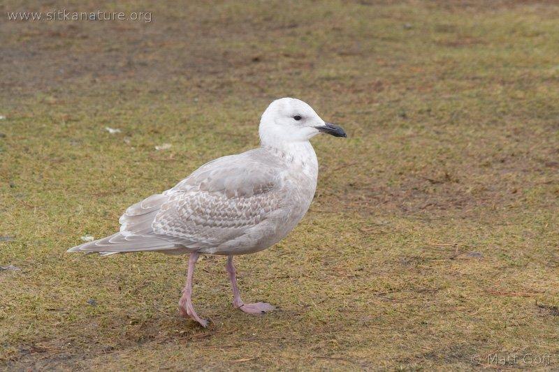 Juvenile Gull (Larus sp)