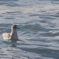 Mew Gull (Larus canus)