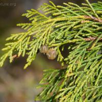 Yellow Cedar (Chamaecyparis nootkatensis)