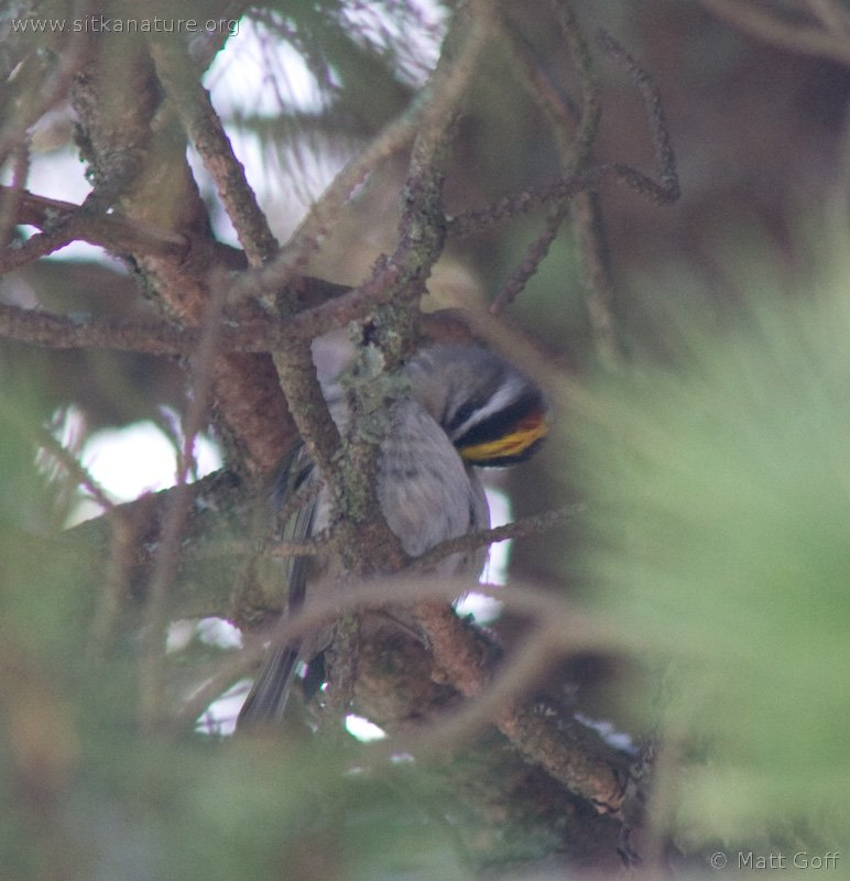 Golden-crowned Kingelt (Regulus satrapa)