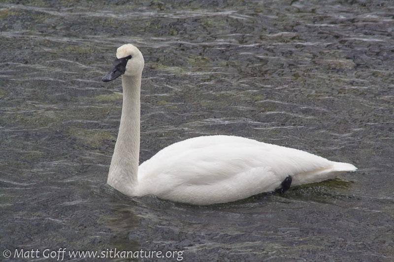 20070302-20070302-trumpeter_swan-2.jpg