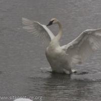 20070302-20070302-trumpeter_swan-1.jpg