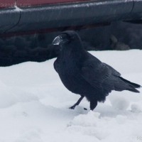 Raven (Corvus corax)