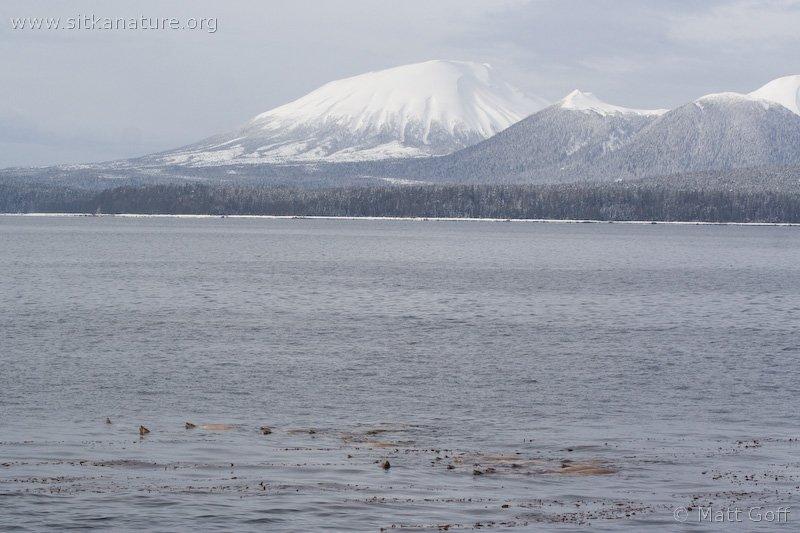 Sea Lions with Mt. Edgecumbe