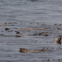 Steller's Sea Lions (Eumetopias jubatus)