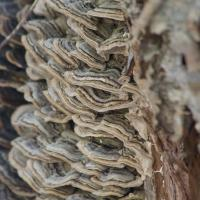 Turkey-tail Fungus (<Trametes versicolor)