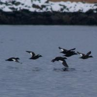 White-winged Scoters (Melanitta fusca)
