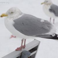 Unidentified Gull 1
