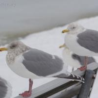 Unidentified Gull 2