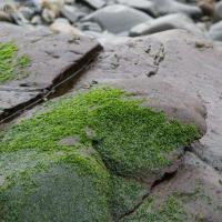 Winter Green Seaweed (Prasiola sp)