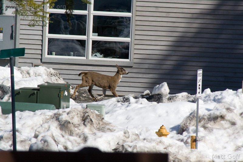 Sitka Black-tailed Deer (Odocoileus hemionus)