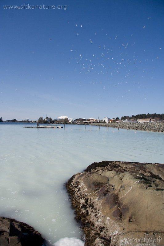 Herring Spawn on Sage Beach